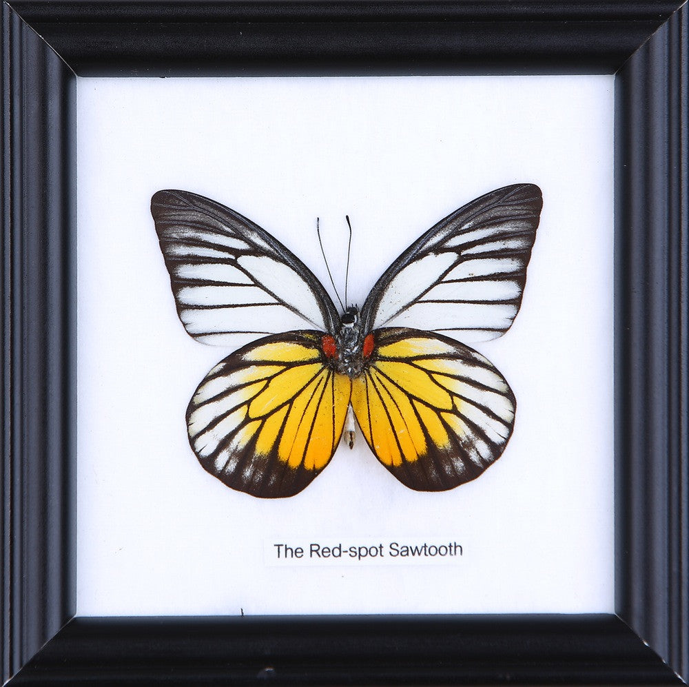 THE RED SPOT SAWTOOTH - COTTON MOUNTED BUTTERFLY TAXIDERMY 12X12CM FRAME