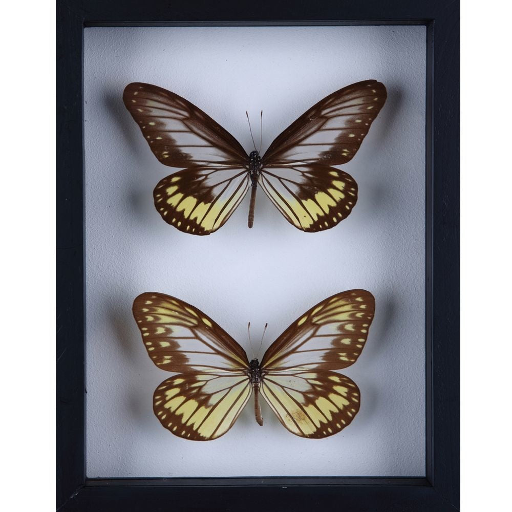 PAIR OF EXOTIC BUTTERFLIES, REAL SPECIMENS, TAXIDERMY FRAME NO.F018