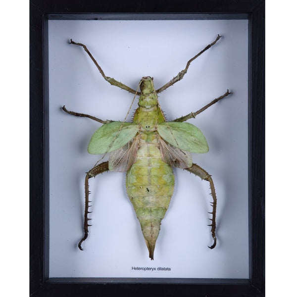 THE MALAYSIAN JUNGLE NYMPH (HETEROPTERYX DILATATA) TAXIDERMY INSECT FRAME