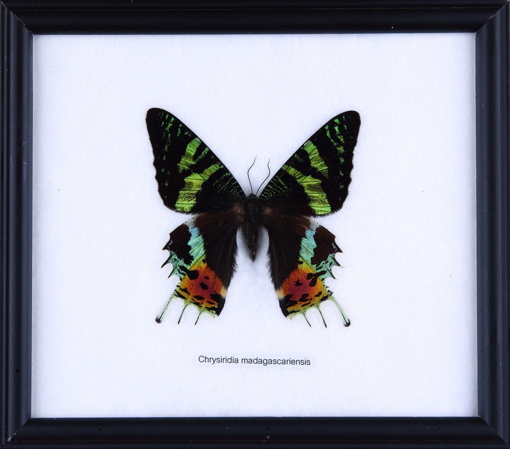THE MADAGASCAN SUNSET MOTH (CHRYSIRIDIA MADAGASCARIENSIS) COTTON MOUNTED