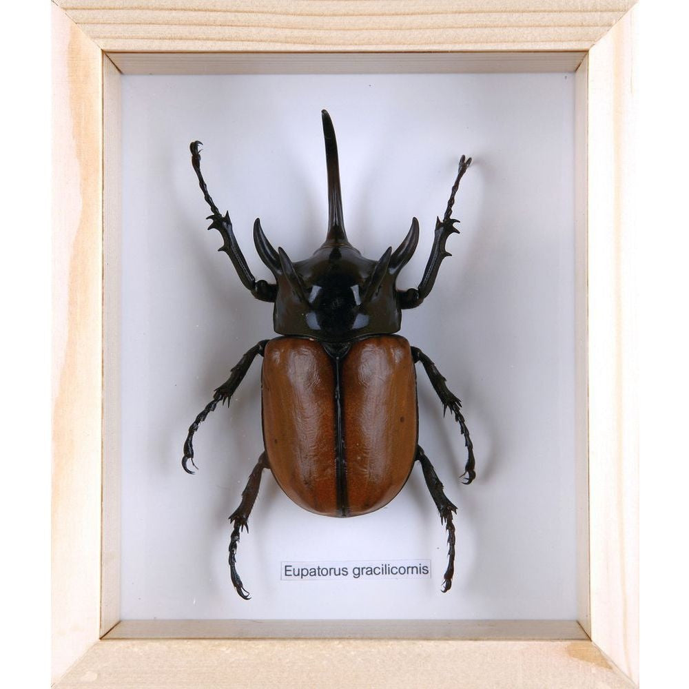 THE FIVE-HORN RHINO BEETLE TAXIDERMY (EUPATORUS GRACILICORNIS) ENTOMOLOGY MINI BEAST FRAME