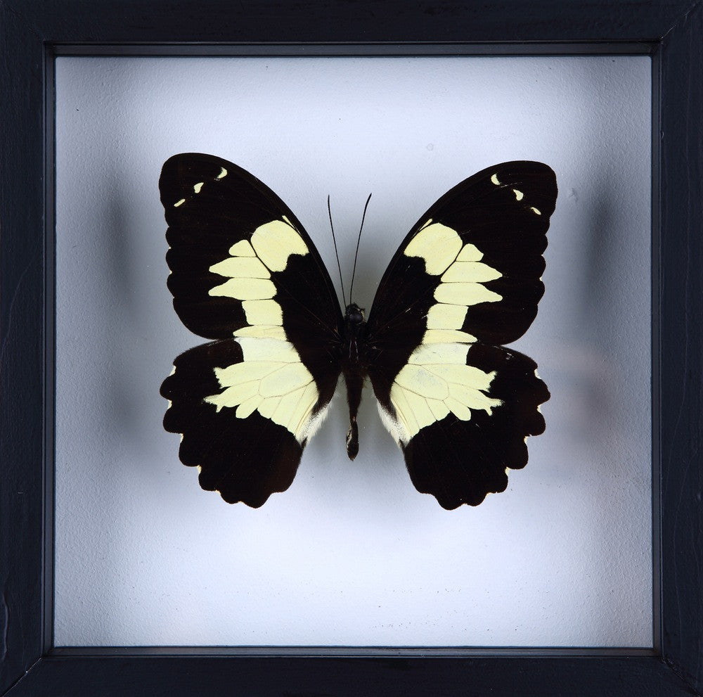 PAPILIO EUCHENOR BUTTERFLY TAXIDERMY | SEE THROUGH GLASS FRAME