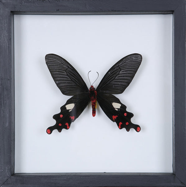 THE GREAT WINDMILL BUTTERFLY | REAL FRAMED SPECIMEN NO.12-13