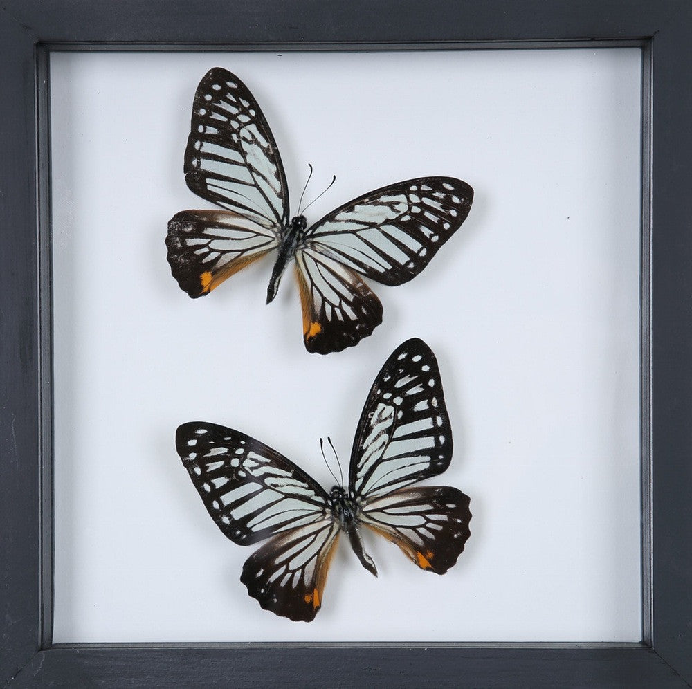 framed butterflies double glass home decor buttefly collection no12 043