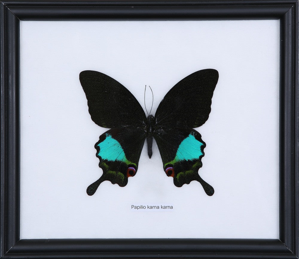 THE BLUE SWALLOWTAIL BUTTERFLY (PAPILIO KARNA) FRAME