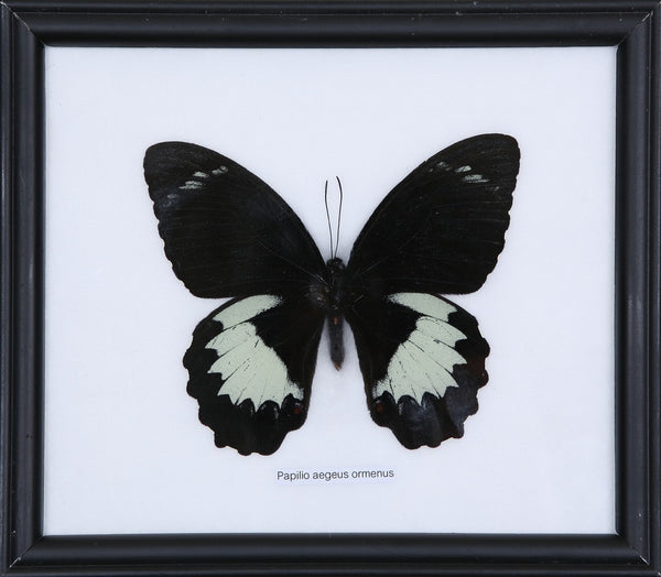 EXOTIC THAI FRAMED BUTTERFLY | PAPILIO AEGEUS ORMENUS, HOME DECOR