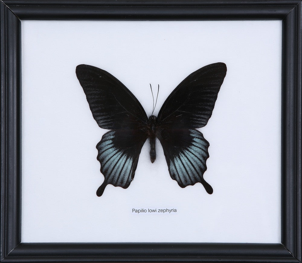 EXOTIC THAI BUTTERFLY | PAPILIO LOWI ZEPHYRIA, FRAMED, HOME DECOR