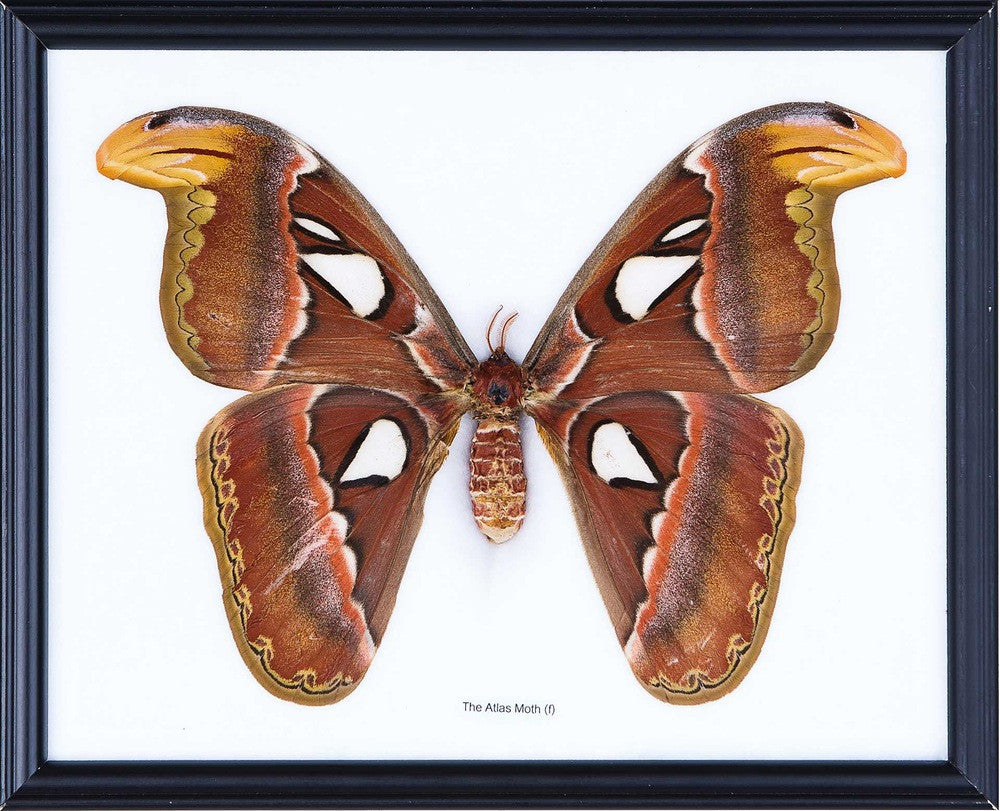 THE GIANT ATLAS MOTH (ATTACUS ATLAS) ENTOMOLOGY STUDY FRAMED