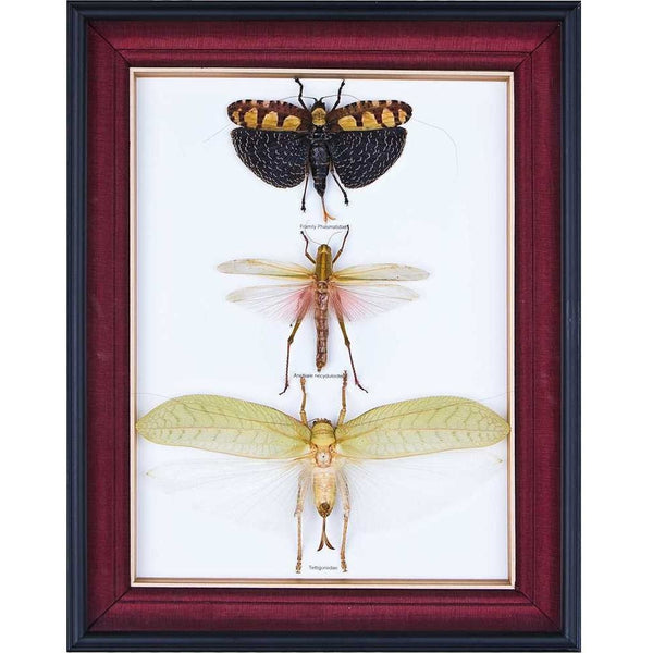 TROPICAL REAL INSECTS MOUNTED IN SILK-LINED BOX FRAME BY BUGSDIRECT