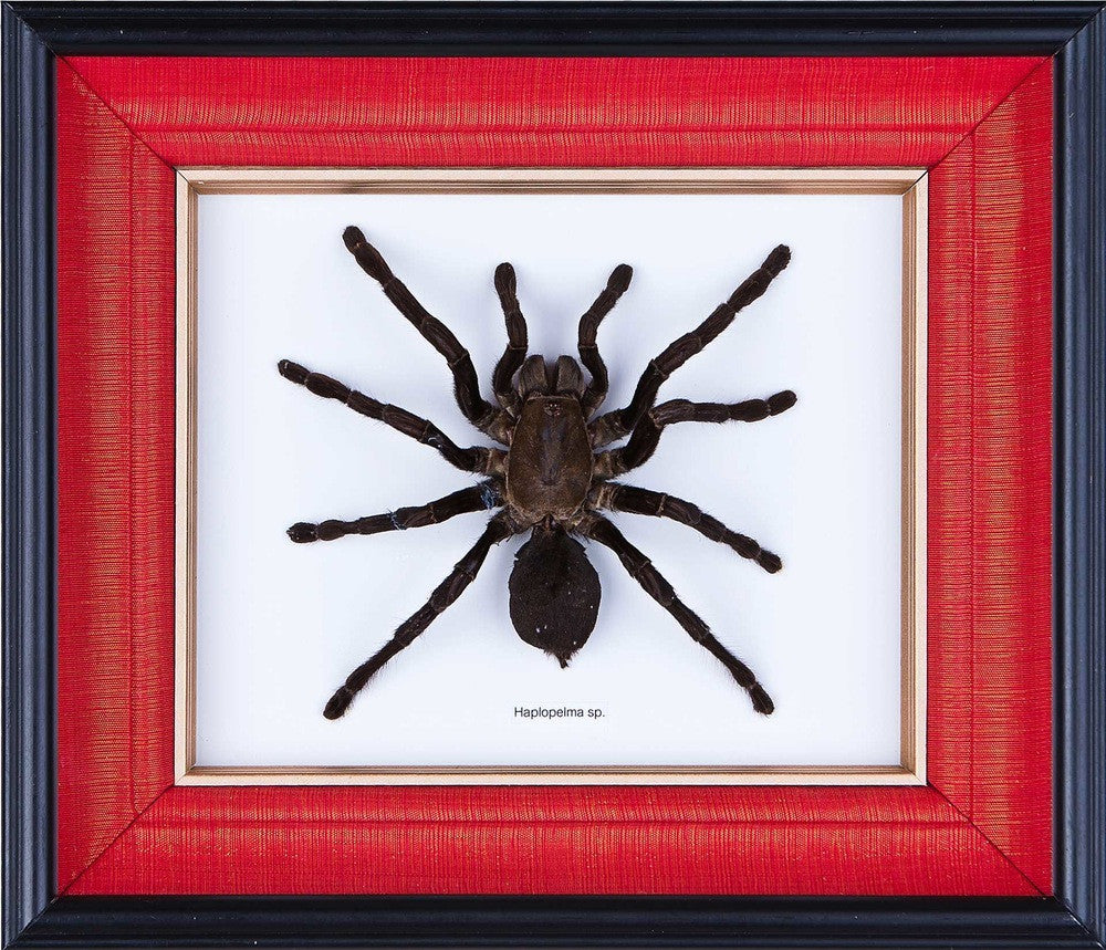 Exotic Framed Tarantula - Mulberry Silk Lining  275 x 235 x 48mm