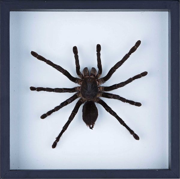 THE GIANT BIRD EATING TARANTULA TAXIDERMY, FRAMED SPIDER