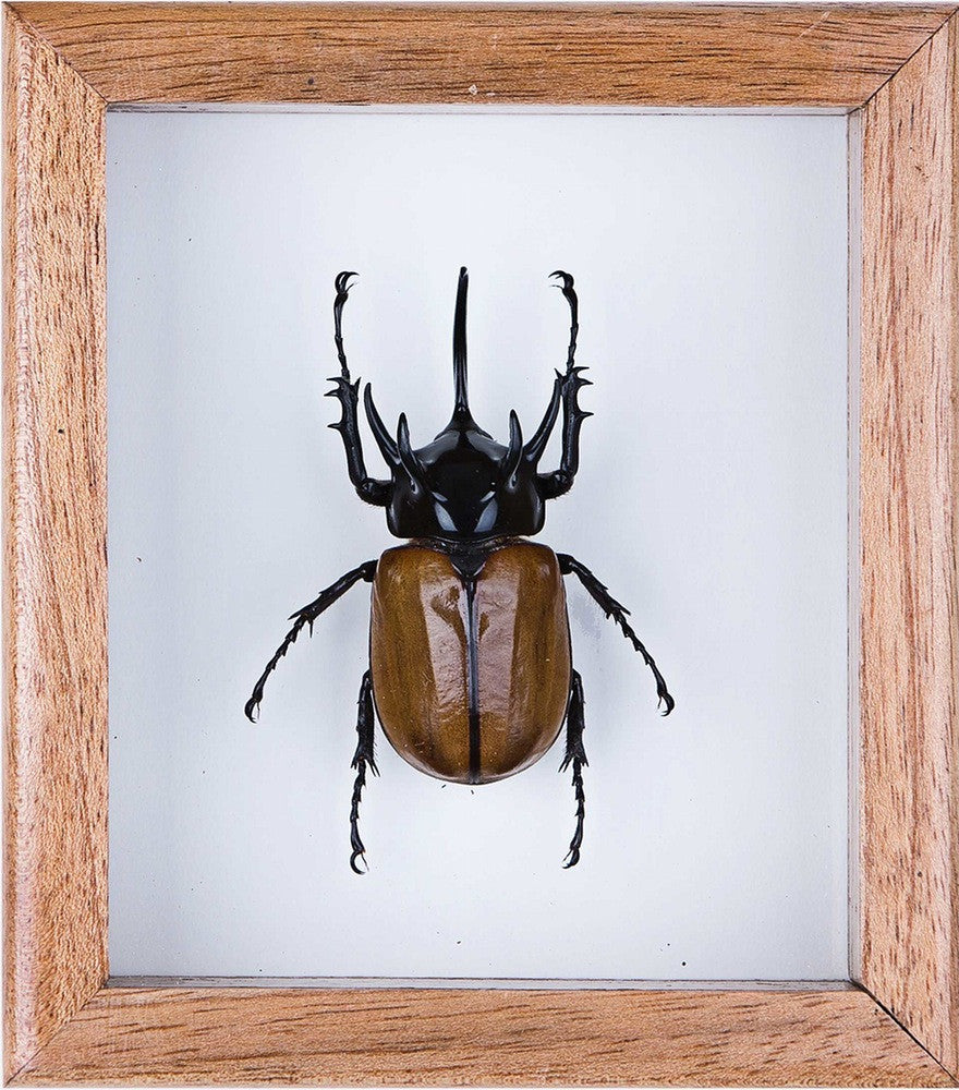 THE FIVE HORNED RHINO BEETLE - MINI BEAST FRAME