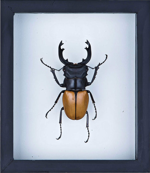 ORANGE STAG BEETLE (ODONTOLABIS MOUHOTII ELEGANS) INSECT TAXIDERMY