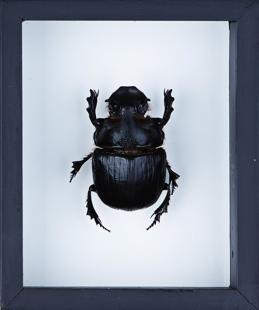 THE ELEPHANT DUNG BEETLE (HELIOCOPRIS DOMINUS) DOUBLE GLASS FRAME