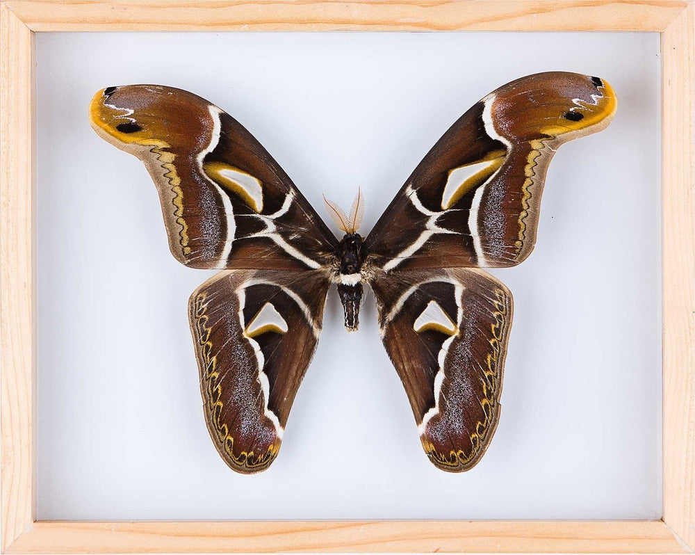 THE EDWARD'S ATLAS MOTH (ATTACUS EDWARDSII) ENTOMOLOGY FRAME