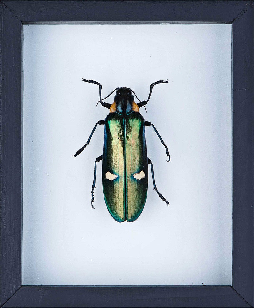 THE GIANT CLICK BEETLE TAXIDERMY (MEGALOXANTHA BICOLOR) DOUBLE GLASS FRAME
