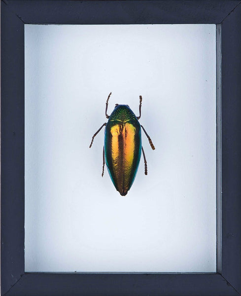 FRAMED JEWEL BEETLE | INSECT TAXIDERMY