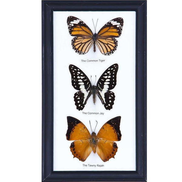 THREE MOUNTED BUTTERFLIES (ASSORTED SPECIES) COTTON MOUNTED