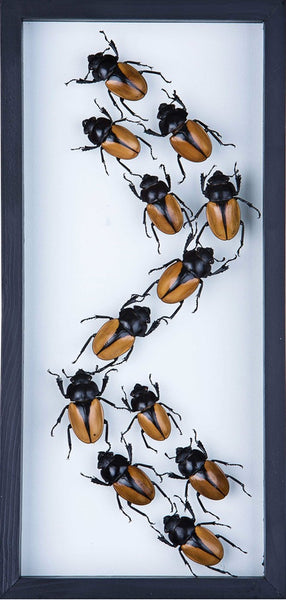 THE ELEGANT BEETLE DISPLAY (ODONTOLABIS MOUHOTII ELEGANS) ENTOMOLOGY FRAME