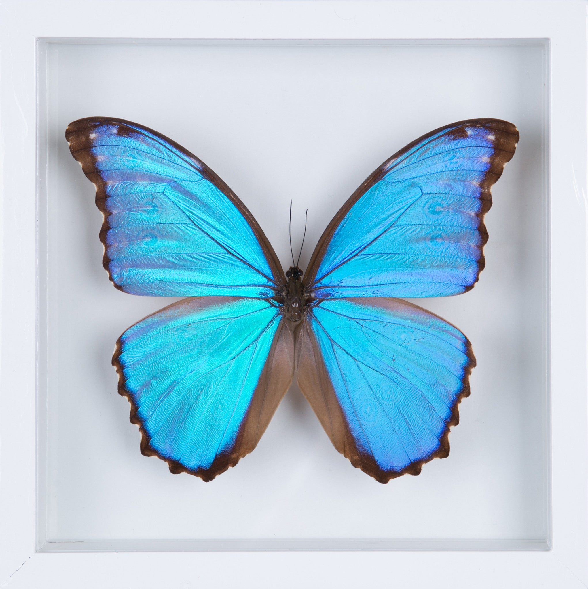 See Through Glass The Giant Blue Morpho Butterfly Frame Morpho Didius Butterfly