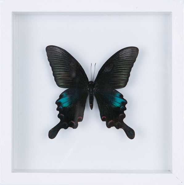 "THE CHINESE PEACOCK PAPILIO BUTTERFLY | ""SEE THROUGH"" GLASS ENTOMOLOGY FRAME"