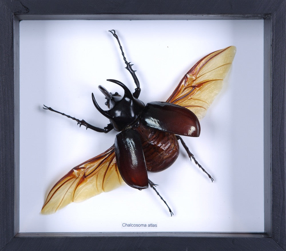 THE FLYING ATLAS BEETLE TAXIDERMY (CHALCOSOMA ATLAS) BOX FRAME