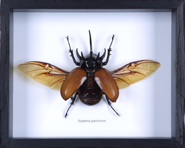 THE FIVE HORN RHINO BEETLE FLYING TAXIDERMY FRAME (EUPATORUS GRACILICORNIS)