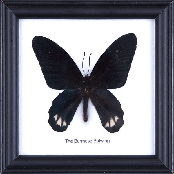 THE BURMESE BATWING BUTTERFLY - COTTON MOUNTED BUTTERFLY TAXIDERMY 12X12CM FRAME