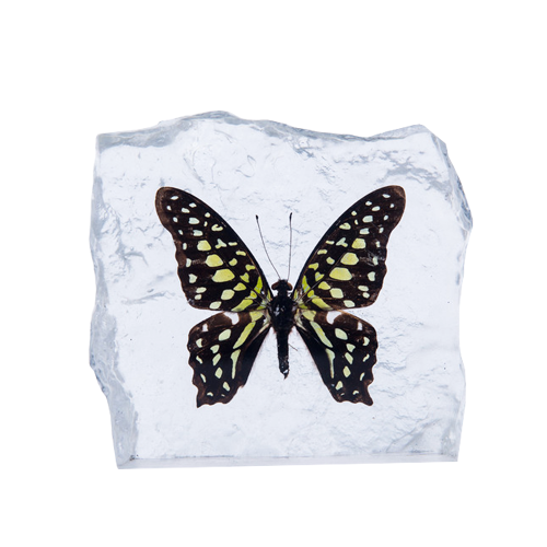 TAILED JAY BUTTERFLY PAPERWEIGHT #2