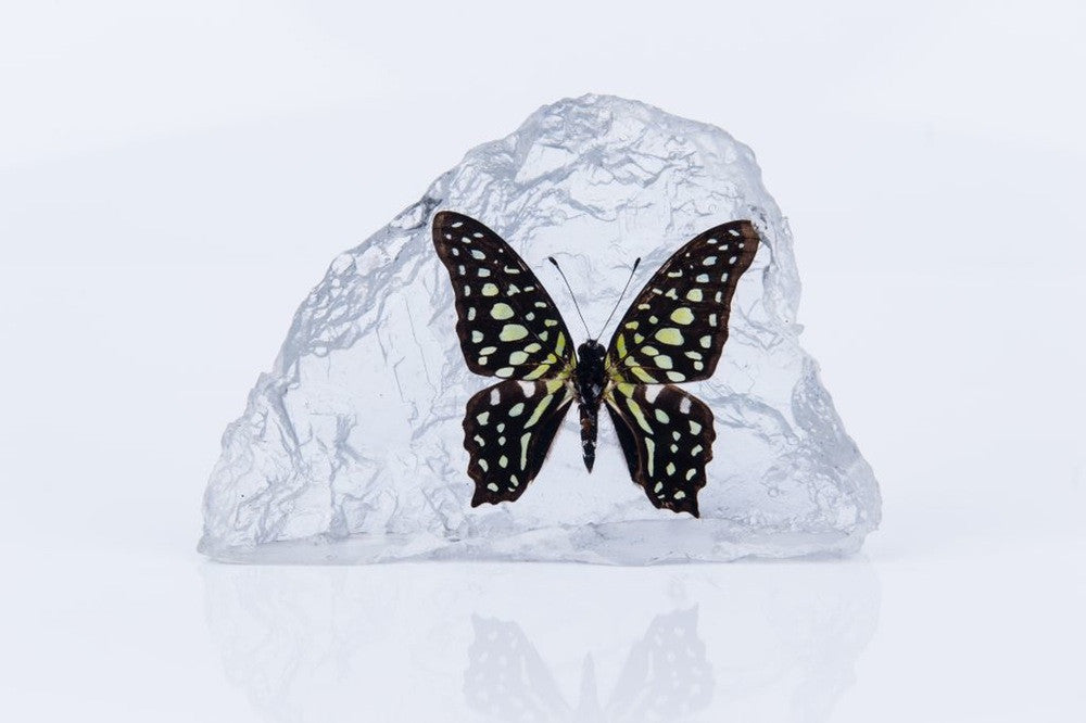 TAILED JAY BUTTERFLY PAPERWEIGHT #1