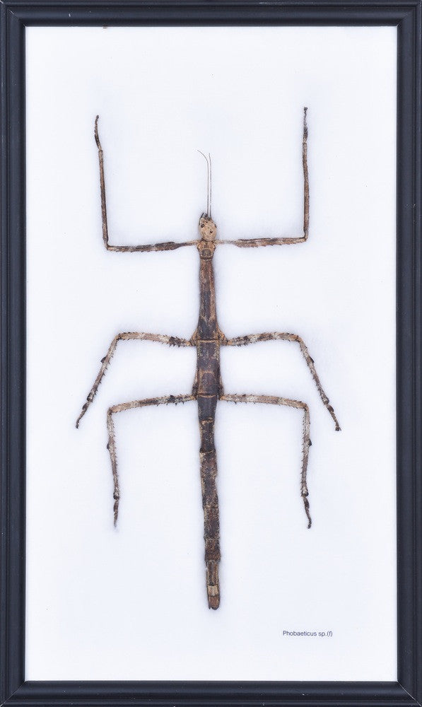 THE GIANT BAMBOO STICK INSECT, ENTOMOLOGY FRAME