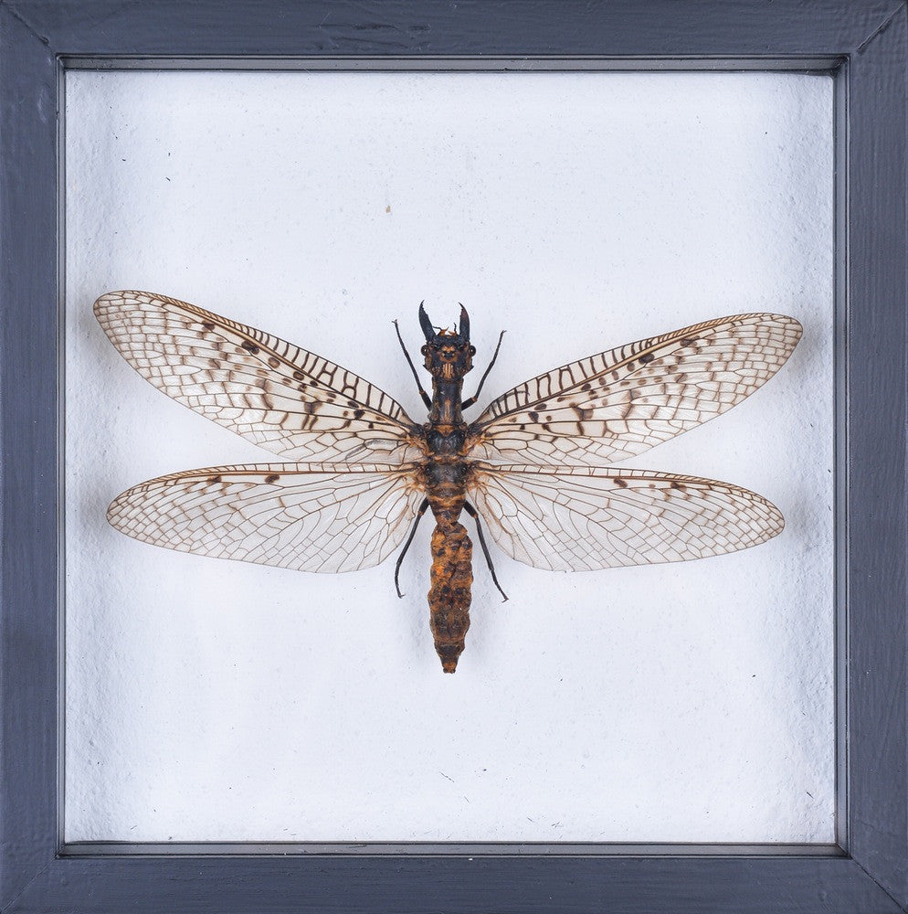 EXOTIC WINGED INSECT FROM LAOS