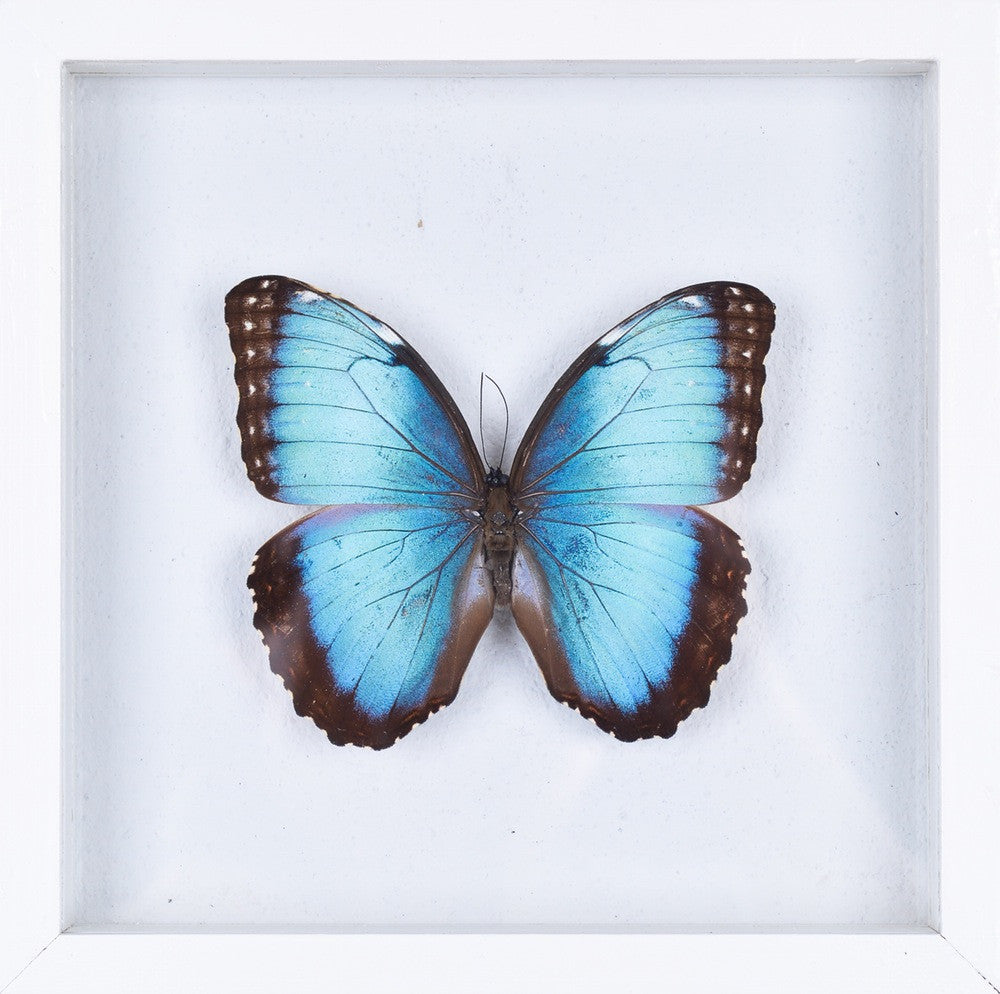 See Through Glass The Blue Banded Morpho Morpho Achilles Butterfly Taxidermy See