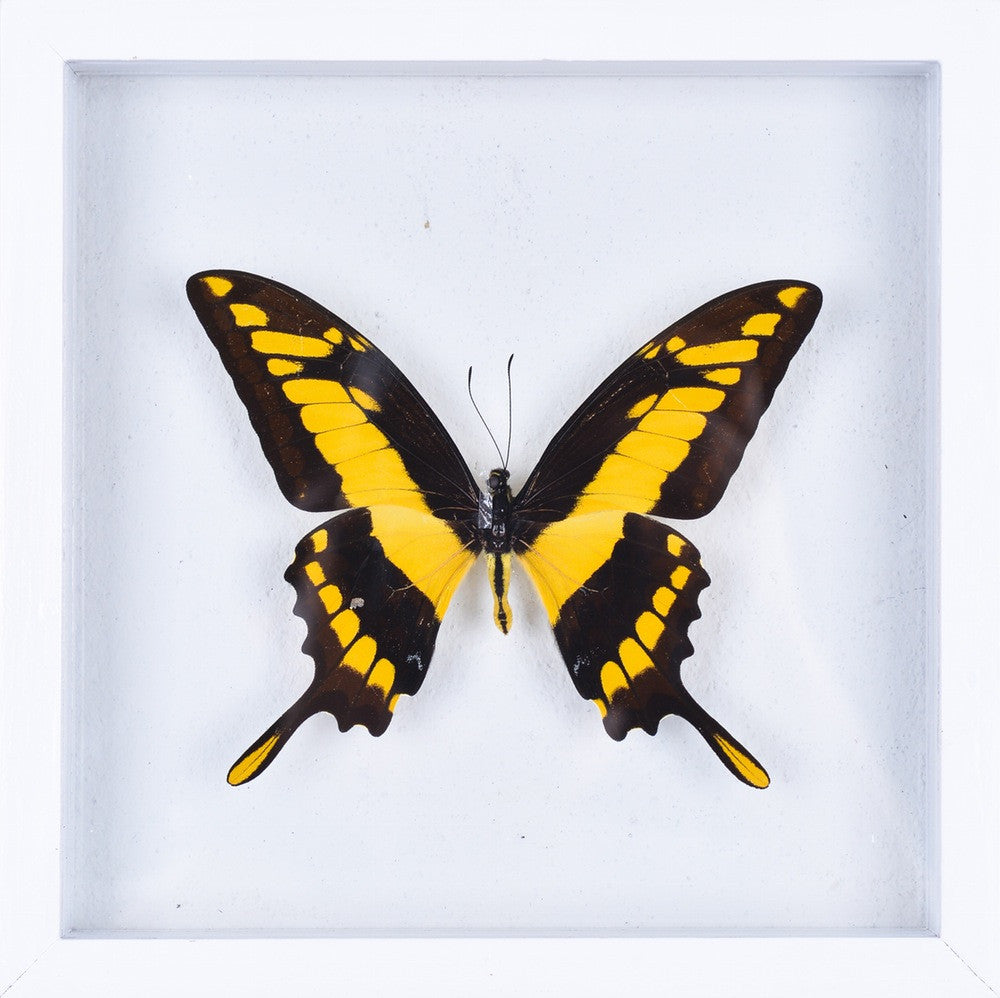 THE KING SWALLOWTAIL BUTTERFLY (PAPILIO THOAS) BUTTERFLY TAXIDERMY | SEE THROUGH GLASS FRAME