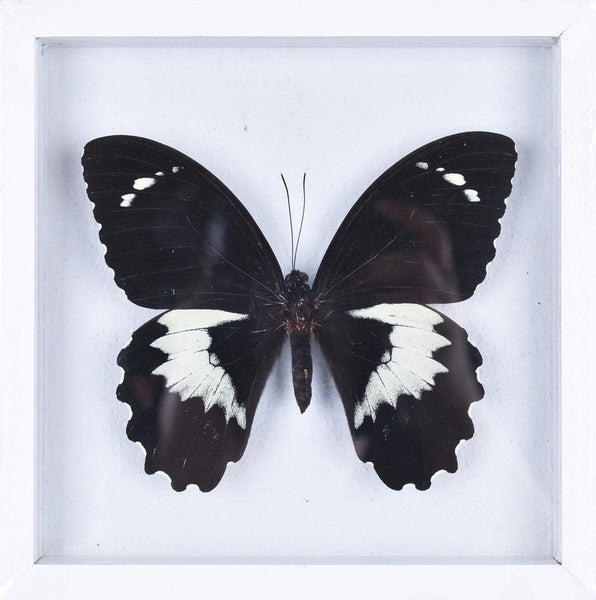 THE ORCHID SWALLOWTAIL BUTTERFLY (PAPILIO AEGEUS) DOUBLE GLASS FRAME