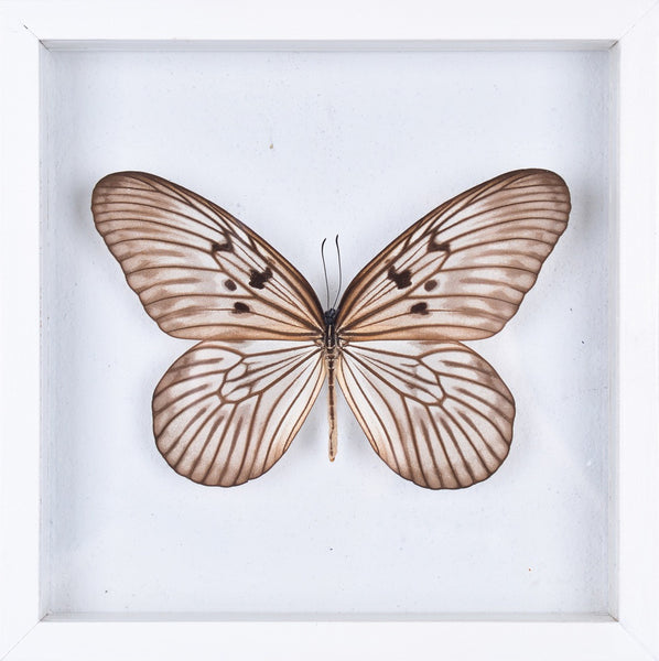 SIAM TREE-NYMPH BUTTERFLY TAXIDERMY | SEE THROUGH GLASS FRAME