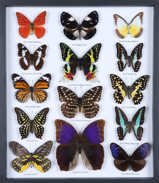Entomology Framed Butterfly Collection | Named Specimens | 3D Wall Frame 340x295x30mm