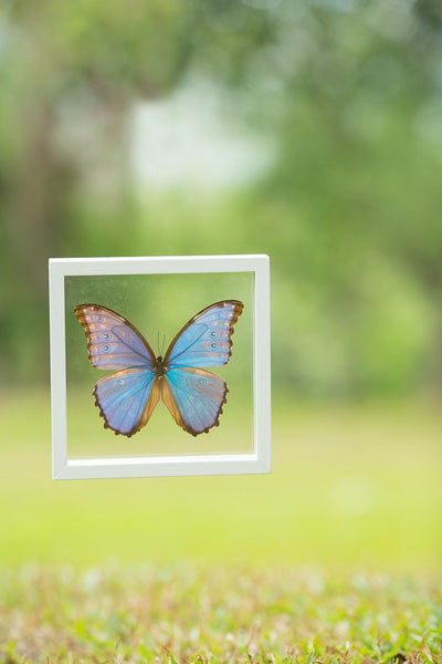 The Giant Blue Morpho (Morpho didius) Butterfly Taxidermy  | See-through double glass frame  | 180 x 180 x 25 mm