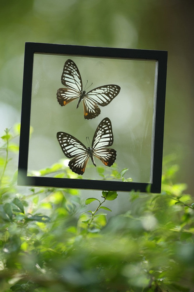 FRAMED BUTTERFLIES | DOUBLE GLASS HOME DECOR BUTTERFLY COLLECTION | NO.12-043