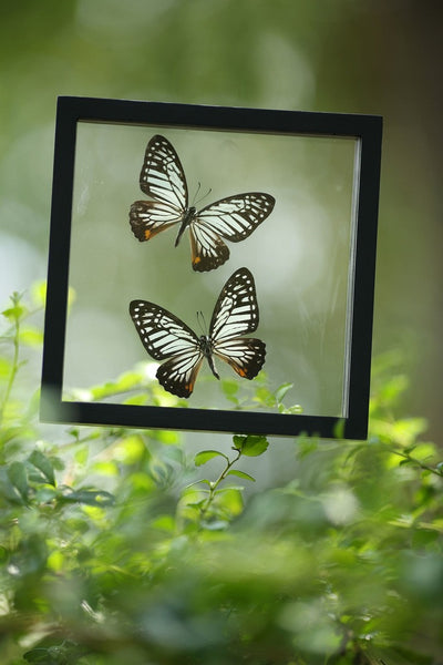 FRAMED BUTTERFLIES | DOUBLE GLASS HOME DECOR BUTTEFLY COLLECTION | NO.12-043