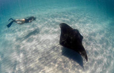 Researcher swimming with Manta ray
