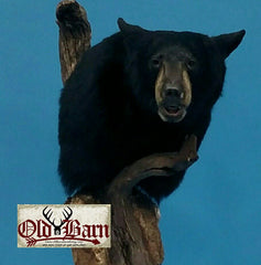 Old Barn Taxidermy Black Bear Pedestal Mount - Southeast Iowa