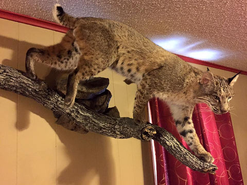Old Barn Taxidermy Bobcat Mount - Southeast Iowa