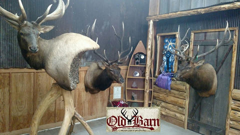 Old Barn Taxidermy Elk Mounts - Southeast Iowa