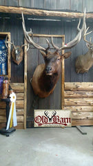 Old Barn Taxidermy Elk Shoulder Mount