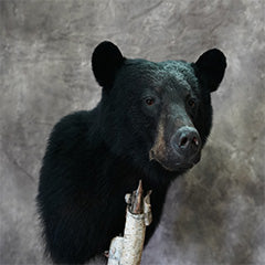 Old Barn Taxidermy - Bear Mount Pictures