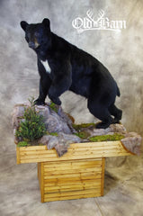 Old Barn Taxidermy Lifesize Black Bear Mount