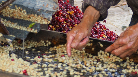 Photo caption: Coffee beans being inspected by hand during the washing process at Marvin Bonvilla's farm in Honduras. Photo credit: Royal Coffee