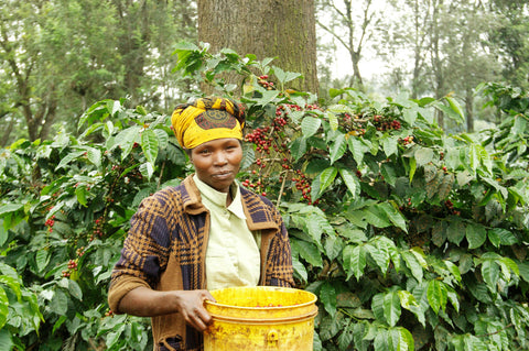 Coffee production in Tanazania. Photo credit: Royal Coffee