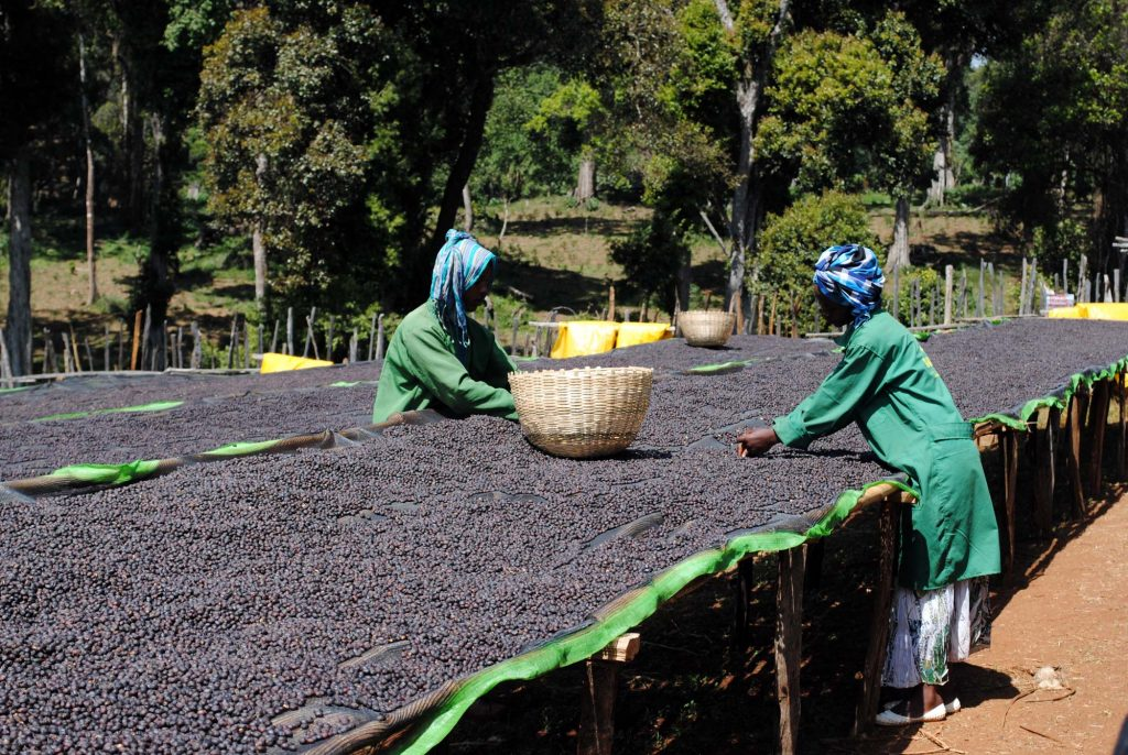 Ethiopia Natural Organic coffee cherries drying on the Hambela Estate